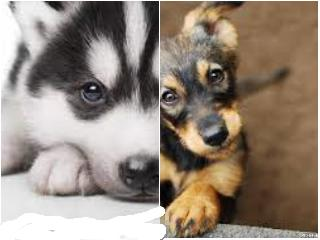 These are my puppies the huskies name is Riley and  she is 1 month. The other one's name is Bella and she is one and a half months. What one do you like better?